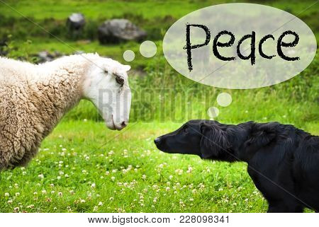 Dog Meets Sheep With Speech Balloon. English Text Peace. Green Grass Meadow In Norway.