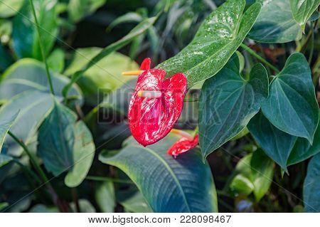 Red Flower Anthurium