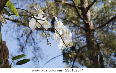 A Gorgeous White Orchid Flower Dangling From A Tree