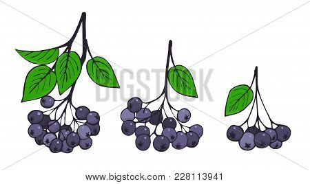 A Set Of Isolated Branches Of Aronia. Bunches Of Black Rowan. Vector