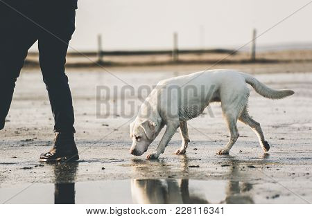 Young Muscular Labrador Retriever Dog Puppy Pet Going For A Wlk With Person On Sandy Beach Smelling