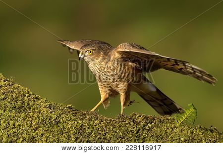 Juvenile Eurasian Sparrowhawk (accipiter Nisus) Preening On A Mossy Wooden Log With Stretched Wings,
