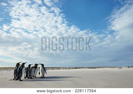 Group Of King Penguins (aptenodytes Patagonicus) On A Sandy Beach In Falkland Islands.