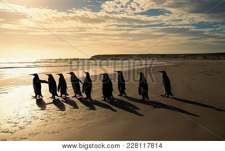Group Of King Penguins (aptenodytes Patagonicus) Walking Towards The Ocean On A Sandy Beach At Sunri