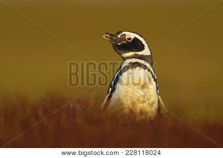Close Up Of An Adult Magellanic Penguin On A Sunny Afternoon, Falkland Islands.