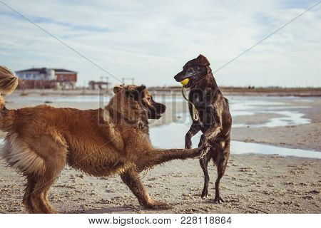 Two Happy Dogs Playing Together On The Beach With Ball