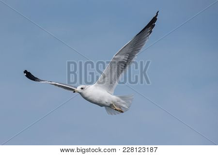 Detailed Portrait Of Natural Flying Armenian Gull (larus Armenicus).the Armenian Gull (larus Armenic