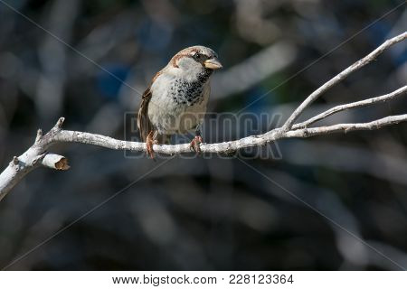 Beautiful Little Sparrow Bird In Natural Background .generally, Sparrows Are Small, Plump, Brown-gre