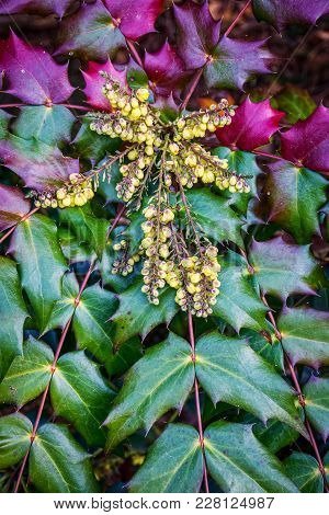 Changing Leaf Color And Yellow Berries Of The Oregon Grape Holly As Seen In The Holmdel Park Aboretu