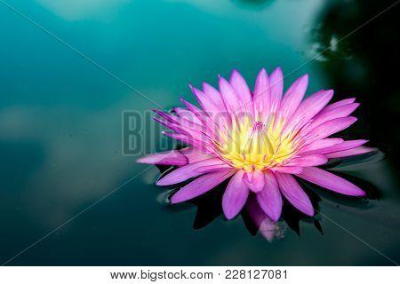 Lotus  Flower  Nature  Blossom  Beautiful  Single Pond