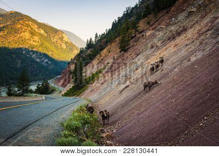 Grazing Mountain Goats Near A Road Along The Fraser River In British Columbia, Canada