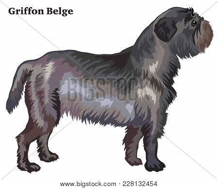 Portrait Of Standing In Profile Dog Griffon Belge, Vector Colorful Illustration Isolated On White Ba