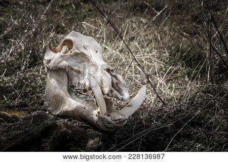 Skull Of A Wild Boar In A Dark Gloomy Style