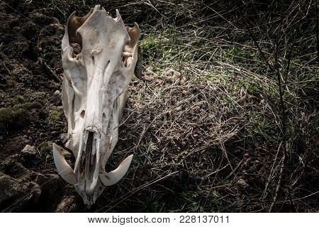 Skull Of A Wild Boar In A Dark, Gloomy Style, Front View