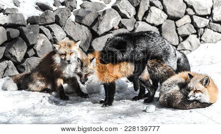 Fox Mating In Winter Season