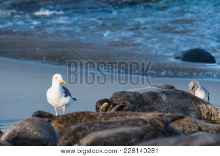 Sea Gull By A Group Of Seals In La Jolla Shore. San Diego, California