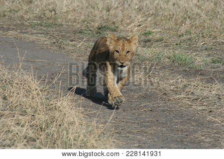 A Lion Cub,(panthera Leo).simba In Swahili Language.