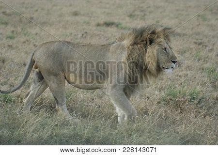 A Lion (panthera Leo).simba King Of The Jungle.