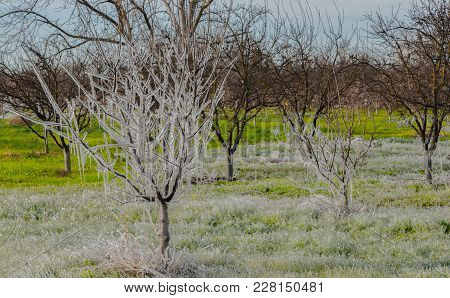 Icicles All Over Some Trees In A Meadow In Winters Ca. In The End Of February 2018