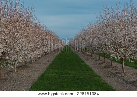 Springtime In The Orchard Full Of New Blossoms
