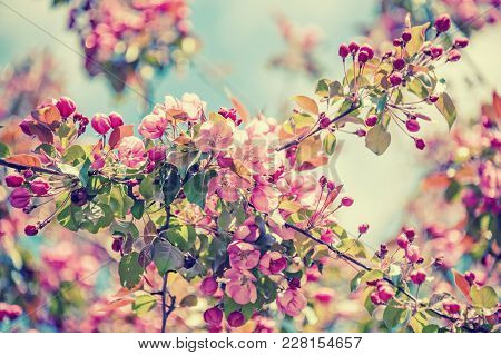 Spring Tree Branch With Small Pink Flowers. Background. Copy Space. Vintage Tinted Glass.