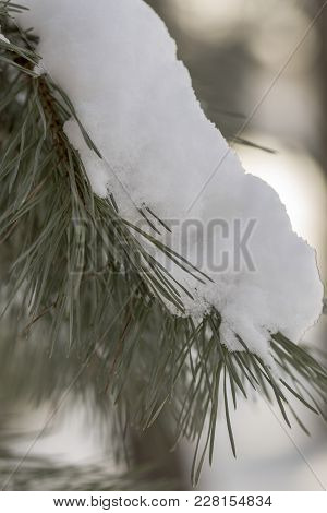 Snow Covered Pine Tree Branches Close Up. Frozen Fir Tree Branch, Closeup.
