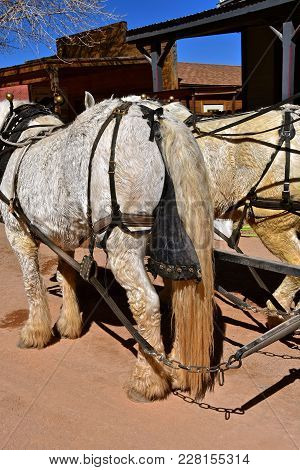 A Team Of White Percheron Horses Are Harnessed And Required With Dung Bags Eliminating Messy Streets