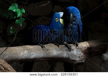 Lovely Blue Parrots Sitting On The Branch