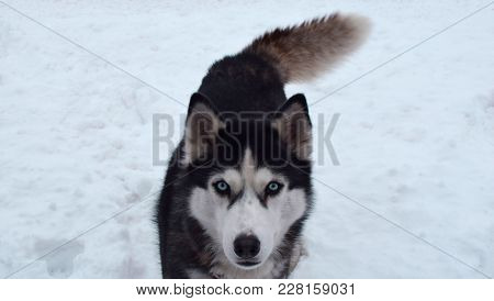 Portrait Of Siberian Husky Outdoors In Snowy Winter Day. Adult Dog Thoughtful Looking At The Camera.
