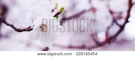 Banner Of Spring Blossoming Branch Of Apricot; Blurred Background