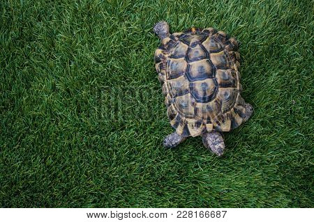 The Turtle Dwells On The Grass Walking Home