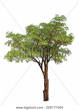 Isolated Tree With Green Leaf , On White Background.