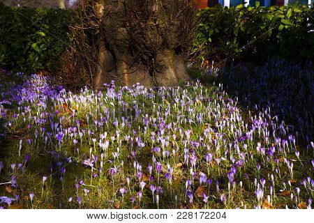 Beautiful Colorful Magic Blooming First Spring Flowers Purple Crocus In Wild Nature Field. Sunset Su