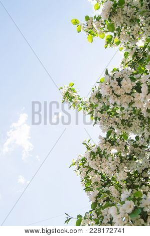 Flowering Branches Of Apple Trees Against The Blue Sky And Sunlight.
