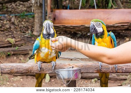 Colorful Blue Couple Parrot Macaw Sitting On Log. Portrait Of Amazon's Parrot Or Colorful Parrot Is