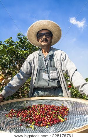 Sao Paulo, Brazil. June 18, 2009. Man Harvesting Coffee On The Orchard Of The Biological Institute,