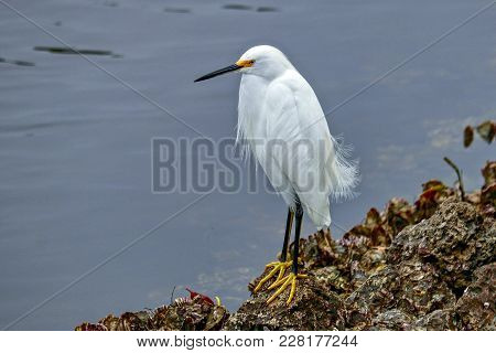 Snowy Egret Sitting On The Rocks At A Lake In Florida