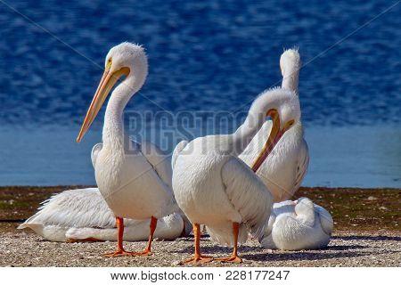 American White Pelicans Sun Bathing In Florida