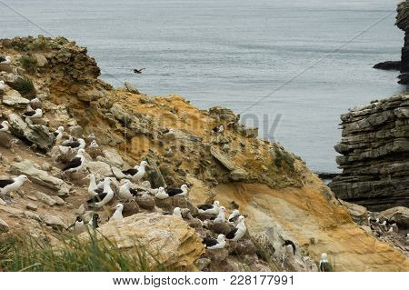 A Black-browed Albatross Colony With Chicks In Nests On A Rocky Cliff Overlooking The Atlantic Ocean