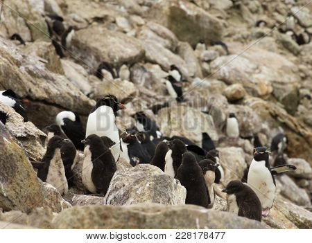 A Group Or Creche Of Rockhopper Penguin Chicks With Their Fluffy Down Coats. They Are Supervised By