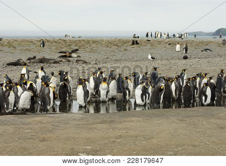 A Group Of  Molting King Penguins Standing In A Fresh Water Pond To Stay Cool. Seals And More Pengui