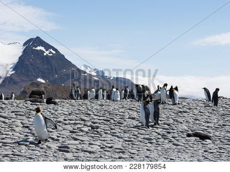 A Group Of King Penguins And South American Fur Seals, Including A Sleeping Seal Pup, On A Rocky Bea
