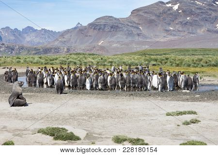 A Group Of Molting Adult King Penguins Standing In Water To Stay Cool. Thousands Of Feathers Are On