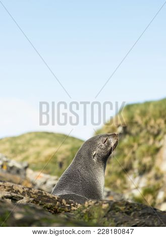 Close Up Of A South American Fur Seal Light By The Sun As It Sits Among Rocks. A Green Hillside And