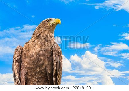 Portrait Of  White-tailed Eagle Or Orlan Whitetail (haliaeetus Albicilla) On A Blue Cloudy Sky Backg