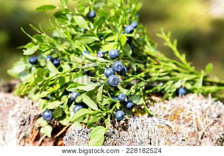 Bush Of A Ripe Blueberry On The Blurred Background