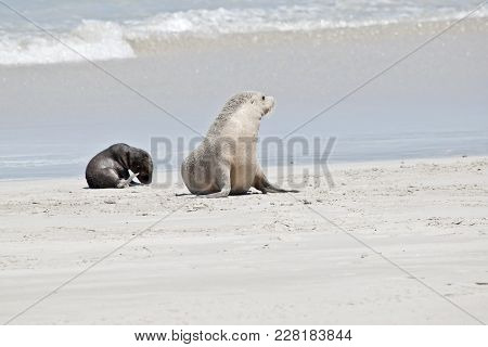 The Sea Lion Pup Is Looking For His Mother On The Beach