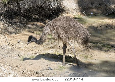 The Young Emu Is Next To A Billabong Cooling Off From The Blistering Heat
