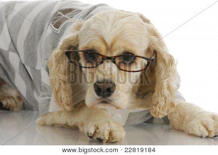 smart dog - american cocker spaniel wearing reading glasses poster