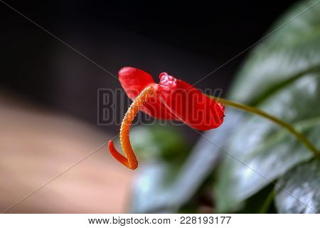 Anthuria / Rose Anthurium / Beautiful Indoor Flower On The Windowsill